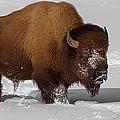 Burly Bison by Priscilla Burgers