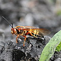 Burn Pile Bee by Jennifer E Doll