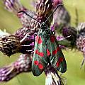Burnett Moth by Ron Harpham