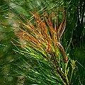 Burnished Pine by Maria Urso
