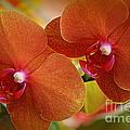 Burnt Orange Orchids by Dora Sofia Caputo Photographic Design and Fine Art