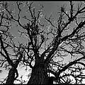 Burr Oak Beauty by Charles Feagans