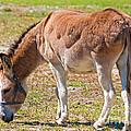 Burro Equus Asinus by Millard H. Sharp