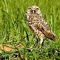 Burrowing Owl At It's Burrow by Myrna Bradshaw