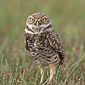 Burrowing Owl by David Davis