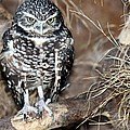 Burrowing Owl  by Elizabeth Winter