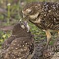 Burrowing Owl Feeding It's Chick Photo by Meg Rousher