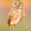Burrowing Owl II by Clarence Holmes