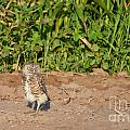 Burrowing Owl IIi by Donna Greene