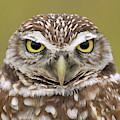 Burrowing Owl, Kaninchenkauz by Fritz Polking - Vwpics