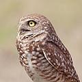 Burrowing Owl by Kim Hojnacki