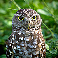 Burrowing Owl by Mark Andrew Thomas