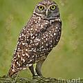 Burrowing Owl by Susan Candelario