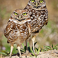 Burrowing Owls by Dennis Goodman