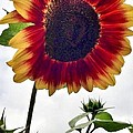 Burst Of Sunflower by Susan Garren