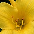 Burst Of Yellow by Denyse Duhaime