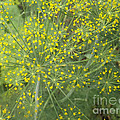Bursting Dill Plant by Brenda Brown