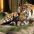 Busch Tiger by David Nicholls