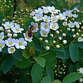 Bush Blossums With Bee by Rory Cubel