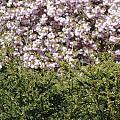 Bush With The Background In Cherry Klarenbeek Park In Arnhem Netherlands by Ronald Jansen