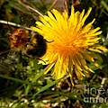 Bussy Bee And Dandelion by Loreta Mickiene