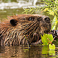 Busy As A Beaver by Everet Regal