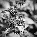 Busy Bee - Bw by Carolyn Marshall