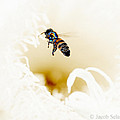 Busy Bee  by Jacob Sela