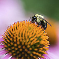 Busy Bee On Cone Flower by Vishwanath Bhat