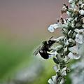 Busy Bee  by Robin  Elliott-Hanley