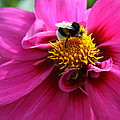 Busy Bumble Bee  by Christiane Schulze Art And Photography