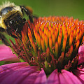Busy Bumble Bee by Luke Moore
