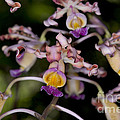 Busy Orchids by Thomas Levine