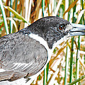 Butcherbird by Christopher Edmunds