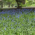 Bute Park Bluebells by Steve Purnell