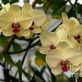 Buttercream Orchids by Living Color Photography Lorraine Lynch