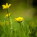 Buttercup Buttercup by Donna Doherty