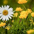 Buttercup Daisy by Richard ONeil