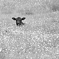 Buttercup In Black-and-white by JD Grimes