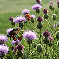 Butterflies And Bull Thistle Wildflowers by Kathy Clark