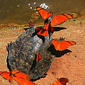 Butterflies And Turtle by Bruce J Robinson
