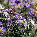 Butterflies And Wildflowers by Christopher D Elliott