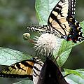 Butterflies Lunch Date by Rhonda Burger