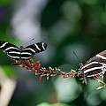 Butterflies On A Wire C by Rob Hans