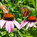 Butterflies On Echinacea Flowers by Duane McCullough