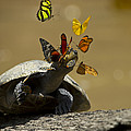 Butterflies Sipping Salt From Turtles by Pete  Oxford