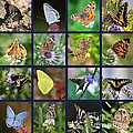 Butterflies Squares Collage by Carol Groenen