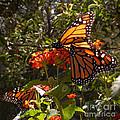 Butterflies Three by Heather Coen