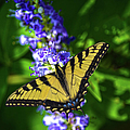 Butterflly Bush And The Swallowtail by Sandi OReilly