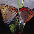 Butterfly 001 by Ingrid Smith-Johnsen